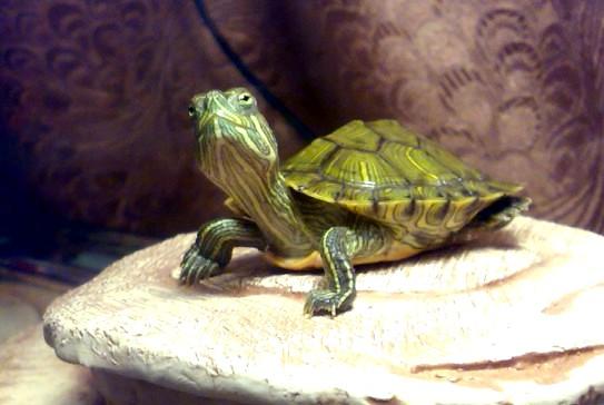 все про водяных черепах: